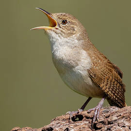 House Wren calling for a Mate by Jerry Fornarotto