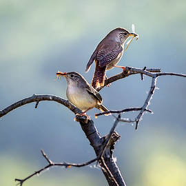 House Wren Couple by Judy Tomlinson