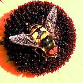 Hoverfly Landed by Alida M Haslett