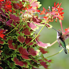Debbie Oppermann - Hummer And The Geranium