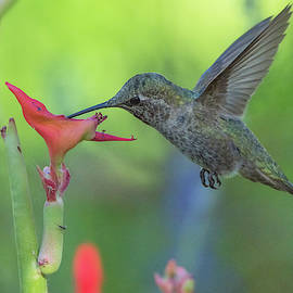 Hummingbird 3512-052919 by Tam Ryan