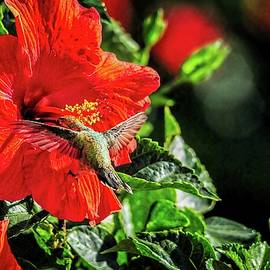 Hummingbird And Red Hibiscus In The Garden 3 by Lynn Bauer