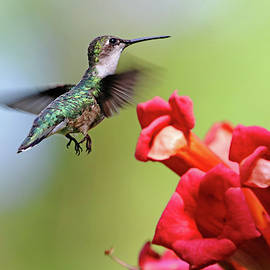 Hummingbird And The Trumpets by Debbie Oppermann