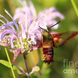 Hummingbird Clearwing in Shenandoah National Park by Maili Page