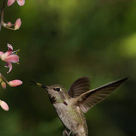 Hummingbird flying in for breakfast by Ruth Jolly
