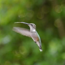 Hummingbird in Flight by Maria Urso