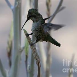 Hummingbird Landing by Christiane Schulze Art And Photography
