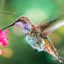 Hummingbird ll by Peggy Franz