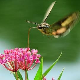Hummingbird Moth  by Lori Frisch