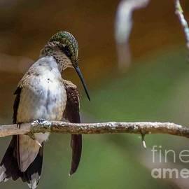 Hummingbird Natural Habitat 1 by Bob Marquis