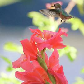 Hummingbird over Glads by Carol Groenen
