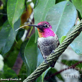 Hummingbird Raspberries by Bunny Clarke