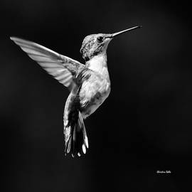 Hummingbird Wings Up Square Bw by Christina Rollo