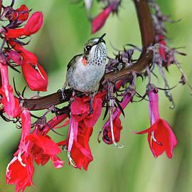 Hummingbird With Attitude by Debbie Oppermann