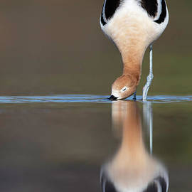Hungry Avocet by Bryan Keil