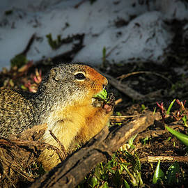 Hungry Ground Squirrel by Amy Sorvillo