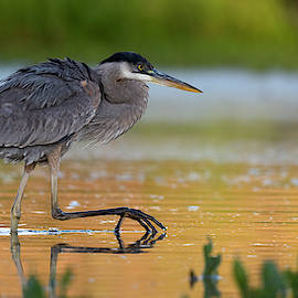 Hungry Heron. by Paul Martin