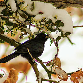 Jennifer Gonzales - Hungry Phainopepla On Snowy Cottonwood