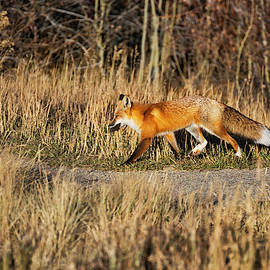 Hungry Red Fox by Lorraine Baum