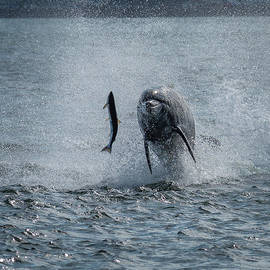 Hunting Bottlenose Dolphin by Andreas Berthold