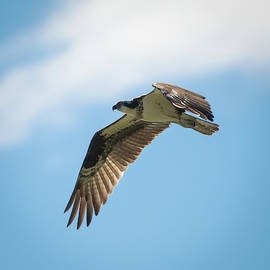 Hunting Osprey by Mike Gifford
