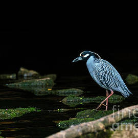 Hunting Yellow Crowned Night Heron by Jennifer White