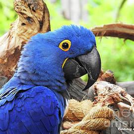 Hyacinth Macaw by Bunny Clarke