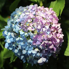 Hydrangea Beauty by Cynthia Guinn