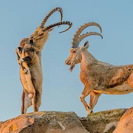 Ibex Bucks Sparring by Morris Finkelstein