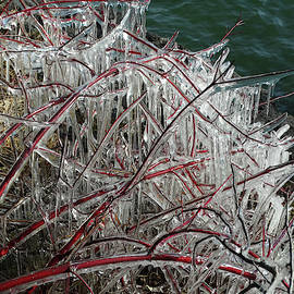 David T Wilkinson - Ice-Coated Red Branches