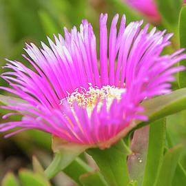 Ice Plant Flower by Etiebia Ncho Abbas Effendi