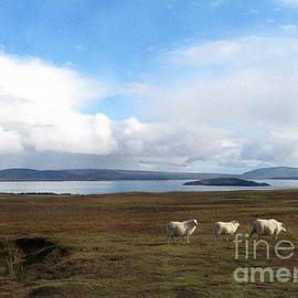 Icelandic Sheep by Diana Rajala