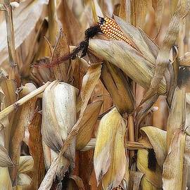 Toni Abdnour - Illinois Harvest