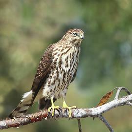 Immature Cooper's Hawk by Morgan Wright
