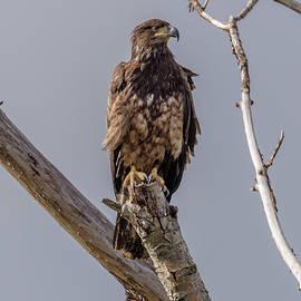 Immature Eagle by Marv Vandehey