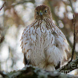Charles Green - Immature Sharp-shinned Hawk