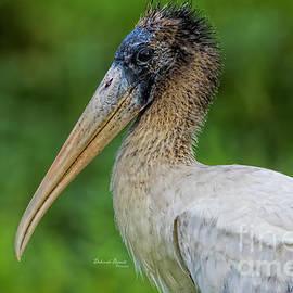 Immature Wood Stork by Deborah Benoit