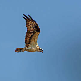 In Awe Of Osprey by William Tasker