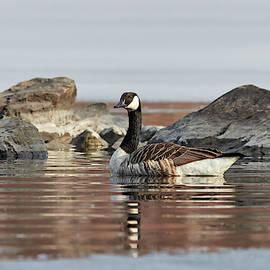 In the morning light. Canada goose by Jouko Lehto