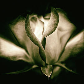 Incandescent Rose by Jessica Jenney