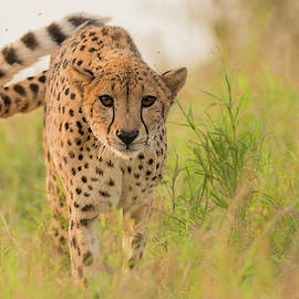 Incoming cheetah by Allen Trivett