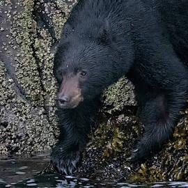 Intertidal Black Bear by Randy Hall