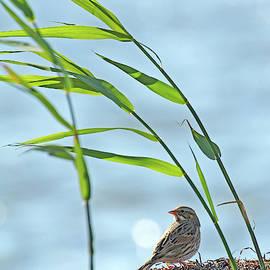 Ipswich Sparrow by Jennifer Robin