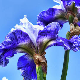 Iris 47 Reaching For The Sky by Allen Beatty