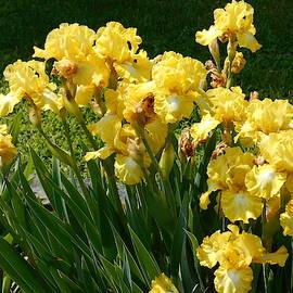 Iris Garden by Barbara Keith
