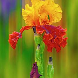 Iris rainbow. by Minnetta Heidbrink