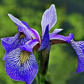 Iris Versicolor by Lyuba Filatova