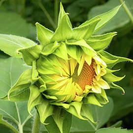 Irvington Springs Farm Sunflower by Norma Brandsberg