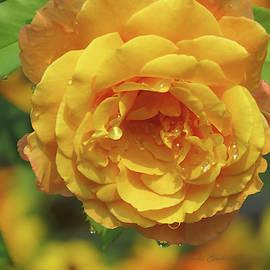 It's Raining Gold - Roses - Floral Photography by Brooks Garten Hauschild