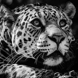 Jaguar by Tazi Brown